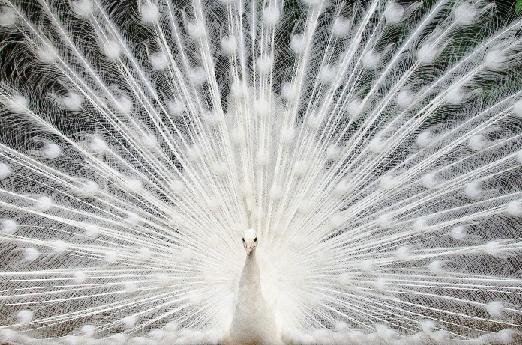 White peacock 522x345